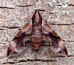 Enpinanga borneensis (female) (TPittaway) Tags: enpinangaborneensis cyberjaya kualalumpur selangor malaysia macroglossinae lepidoptera sphingidae sphingidaemundi hawkmoths sphinxmoths tonypittaway