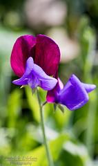 Sweet Elegance (Patrick Dirlam) Tags: trips local flowers sanluisobispo botanical garden