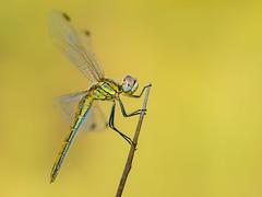 esto es solo una aproximación (Santi BF) Tags: macro closeup aproximación sympetrumfonscolombii sympetrum libélula libèl·lula dragonfly odonato odonata anisóptero anisoptera