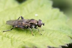 Chalcosyrphus nemorum / Korte Bladloper (peter.lindenburg) Tags: biesbosch hoverfly syrphidae zweefvlieg chalcosyrphusnemorum kortebladloper