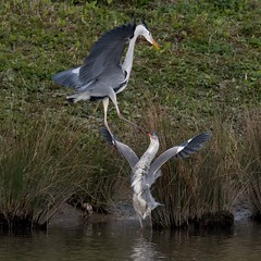 Herons fighting (ftm599) Tags: nikon wetlands wwt lake naturephotography wildlifephotography actionphotography nature wildlife wild wings fight fighting action birds bird greyherons herons heron