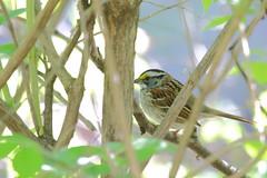 White-throated Sparrow (astro/nature guy) Tags: illinoisbird bird urbanabird buseywoodsbird buseywoods sparrow whitethroatedsparrow