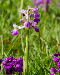 Green-winged Orchid (Anacamptis morio) (BiteYourBum.Com Photography) Tags: dawnandjim dawnjim biteyourbum biteyourbumcom copyright©biteyourbumcom allrightsreserved canoneos7d canonefs60mmf28macrousm sigma50500mmf4563dgoshsm canonef1740mmf4lusm apple imac5k lightroom5 ipadair appleipadair camranger lrenfuse focusstacking polaroidautofocusdgmacroextensiontubes manfrotto055cxpro3tripod manfrotto804rc2pantilthead loweproprorunner350aw uk unitedkingdom gb greatbritain england corfemullenmeadow corfemullen dorset dorsetwildlifetrust