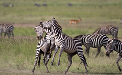 Zebras fighting (Mathieu Pierre) Tags: kenya sunset maasai mara safari f28 7d canon eos vanguard tripod grip 7dmark2 sunlight wildlife africa 300mmf28 goldenlight sunrise 7dmarkii cuteanimal zebra zebras zebrafight masaimara maasaimara