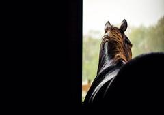 rainy day (Jen MacNeill) Tags: horse horses equine photography stable farm stall quarterhorse chestnut mood barn jennifermacneill jennifermacneillphotography
