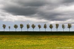 Trees on the Dike (Johan Konz) Tags: dike trees yellow daisy field polder beemster westdijk schermerhorn newland dark sky clouds droogmakerij landscape outdoor minimalism netherlands nikon d90