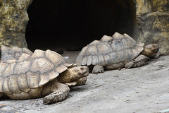 African Spurred Tortoise (蘇卡達象龜) (scv1_2001) Tags: nikon nikon70200mmvrii nikond750 taiwan taipeizoo 台北市立動物園