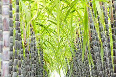 Sugar-cane (MPBHAIBO) Tags: summer food plants plant green nature field grass horizontal closeup leaf raw purple candy nobody growth backgrounds material tall agriculture foodanddrink  sugarcane selectivefocus rawfood rawmaterials environmentalconservation  lowangleview