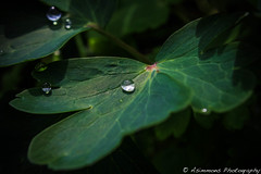IMG_9167 (Dreadman1985) Tags: green rain leaf alone drop clear veins so