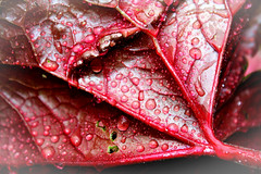 Matin de printemps (Charlie Magritte) Tags: red rouge leaf drop droplet goutte feuille goutelette