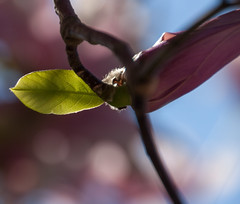 Magnolia Bud (Osohepi) Tags: blue flower beautiful spring flora purple blossom bokeh magenta exotic magnolia delicate florafauna magnoliatree backlighted flowerbud floweringtrees magnoliabud shadesofpink