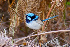 Superb Fairy-Wren (adstevens23) Tags: bird island superb fairy tasmania wren bruny