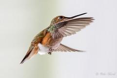 Hummingbirds IMG_3468 (Orkakorak) Tags: hummingbirds ultraherowinner kanchenjungachallengewinner gamex2sweepwinner