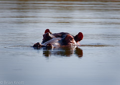 Solitary Hippo (Brian Knott Photography) Tags: africa park game water southafrica hole wildlife reserve national hippo hippopotamus kruger ngala brianknott forgetmeknottphotography fmkphoto