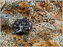 20130507. Iceland. Sandfell. Lichen. 9426. (Tiina Gill (busy)) Tags: orange black nature iceland lichen