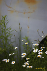 Junkyard Daisies (Cam Miller 2016) Tags: nature daisies weeds rust wildflowers shallowdepthoffield 50mmlens fieldflowers cammiller