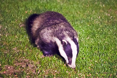 Badger (angspence) Tags: animal badger gardenfeeding