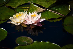 (caroline.angelo) Tags: water june washingtondc waterlily lotus lilypad kenilworthaquaticgardens
