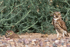 IMG_0534 Burrowing Owls Parent and Fledgling (lois manowitz) Tags: arizona birds raptors owls fledglings