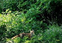 going back to the den (Judecat (Sand between my toes )) Tags: nature wildlife fox redfox pennsylvaniawildlife