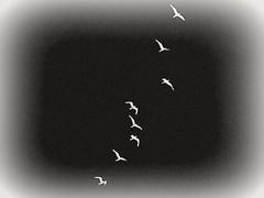 Bird Flight (CapturingPeace) Tags: seagulls nature birds flying colorful natural south filters closeups vformation birdflight