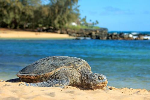 Sea Turtle on Poipu Beach
