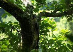DSCF8615 Peregrine falcon (juv. fem.) (Steve_Herring) Tags: nature birds wildlife young falcon juvenile raptors birdsofprey peregrine fujifilmfinepixhs10 steveherringphotography