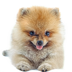 pomeranian (anekphoto) Tags: two portrait orange dog pet brown white black cute eye beauty animal closeup set hair puppy studio fur team looking view head background small group performing young adorable fluffy canine nobody mini charm grooming domestic sit concept charming pomeranian tilt spitz slope isolated intelligent purebred trained siting