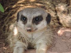 IMG_298 (Marler-Berlin) Tags: zoo meerkat leipzig tierpark suricate erdmnnchen suricat zooleizpig