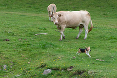 Fissa ! (raphael.labourel) Tags: dog chien pets france beagle earth iso monde animaux vache pyrnes payolle