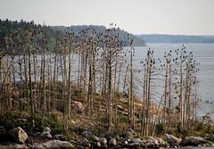 Island of Dead Trees (Toni Kaarttinen) Tags: trees sea birds dead island coast sweden stockholm schweden sverige estocolmo stoccolma suecia archipelago sude tukholma svezia ruotsi