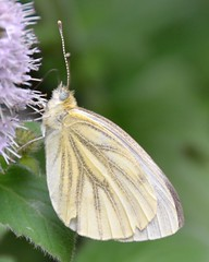 green-veined white butterfly (GE fotography) Tags: white green butterfly iso200 kent nikon mauve f56 200mm veined 7424 1125s nkkor bradbourne d7000 18to200
