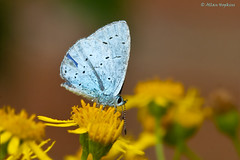 Holly Blue (Celastrina argiolus britanna) (Hoppy1951) Tags: wales bu