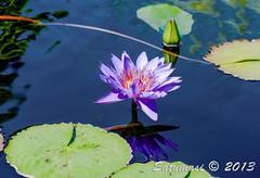 (Satumasi) Tags: summer chicago flower gardens illinois nikon unitedstates il northamerica d800 chicagoillinois chicagobotanicgarden 105mmf28 afsvrmicronikkor105mmf28gifed 105mmf28gvr afsvrmicronikkor105mmf28g nikond800