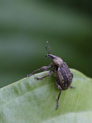 Hypera zollus (Hylobiinae) (gbohne) Tags: canon insect beetle insects beetles insekt animalia arthropoda insekten coleoptera insecta identified pterygota neoptera taxonomy:class=insecta geo:country=germany taxonomy:order=coleoptera taxonomy:phylum=arthropoda taxonomy:subclass=pterygota taxonomy:suborder=polyphaga 100mmf28canon phytophagous taxonomy:infraclass=neoptera taxonomy:subphylum=hexapoda geo:region=europe taxonomy:infraorder=cucujiformia
