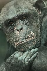 Quincy artis IMG_0545 (j.a.kok) Tags: quincy chimpanzee artis pantroglodytes chimpansee