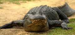 Paynes Prairie Guardian (gatorgalpics) Tags: alligator lachuatrail paynesprairie paynesprairiepreservestatepark paynesprairiepreserve mistymorningonthetrail lachuatrailguardian paynesprairieguardian