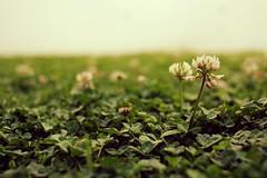 IMG_1506 (Gastn Gabriel) Tags: flower 28mm flor patio manual 128 trebol treboles vintagelens samyang samyang28128manual samyang28f28