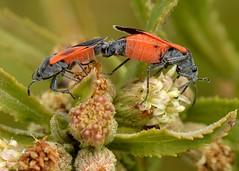Mating pair of Redcoat Seed Bugs (Melanopleurus belfragei, Lygaeidae, Hemiptera) on Ms. Plummer's Baccharis (Baccharis plummerae, Asteraceae) (Treebeard) Tags: california mating asteraceae santabarbaracounty santaynezmountains hemiptera lygaeidae melanopleurusbelfragei msplummersbaccharis smoothbaccharis baccharisplummerae redcoatseedbug