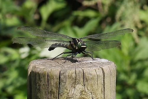 新治市民の森のコオニヤンマ(Dragonfly, Niiharu Community Woods, Yokohama, Japan)