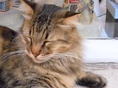 Cat (Clerss Malisha) Tags: cats animal animals cat meow miao gatto gatti domestico animali animale micio