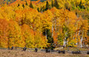 Colorado Aspens (Amy Hudechek Photography) Tags: autumn trees fall fence colorado aspen uncompahgrenationalforest happyphotographer owlcreekpass mygearandme mygearandmepremium mygearandmebronze amyhudechek