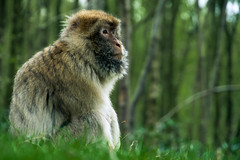 Barbary Macaque Staring Into Distance (GregRafferty) Tags: green animal forest mammal monkey alone sitting staring barbarymacaque