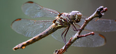 The Sun'll come out Tomorrow (Zoom Lens) Tags: autumn summer macro nature beautiful beauty closeup insect fly wings nikon dragonflies dragonfly flight wing fast happiness insects micro strength activity predator winged flier courage odonata anisoptera purewater swiftness eyepoker epiprocta earcutter eyesnatcher johnrussellakazoomlens multiwinged highlymaneuverable devilsdarningneedle copyrightbyjohnrussellallrightsreserved