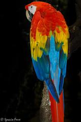 Guacamayo rojo (Ignacio Ferre) Tags: bird parrot ave macaw loro ara pjaro redandgreenmacaw psittacidae guacamayorojo arachloropterus