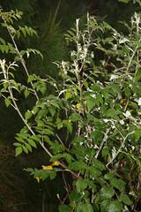 Rubus niveus Thunb. (Ahmad Fuad Morad) Tags: Taxonomy:family=rosaceae Geo:country=indonesia hillraspberry mountpananjakan mysoreraspberry serunipoint Taxonomy:binomial=rubusniveus ceylonraspberry hongpaociteng kalahinsalu kalakucet concopoco sakanatinono