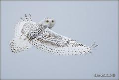 Snowy Owl (131206-0219) (Earl Reinink) Tags: ontario canada nature yellow eyes nikon flickr niagara raptor owl earl snowyowl naturephotography birdphotography nikond4 snowyowlinflight earlreinink reinink
