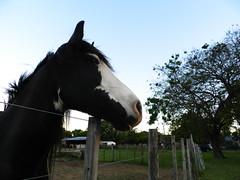 Horse (Surgo (Diego Otero)) Tags: horse caballo cheval cavalo pferd paard