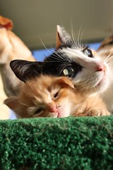 Mother's love (Shutter Photography & Hot Rod Images) Tags: cats pets cute love animals mother kittens canon50d