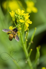 Honey Bee (the THIRD_EYE) Tags: winter flower green yellow canon insect bee honey mustered
